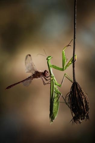 La libélula sobre la Mantis